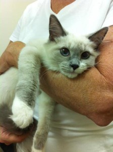 feline resorption