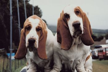 dogs with floppy ears
