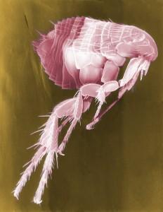 the common flea