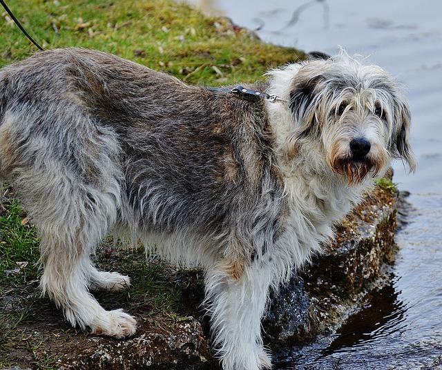 lepto in dogs